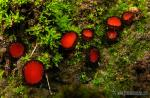 Scutellinia scutellata (L.) Lambotte. Setas de Granada
