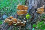 Paxillua panuoides hábitat.Hongos de Granada