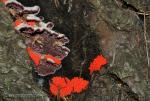 Trichaptum fuscoviolaceum. Hongos de Granada. Granadanatural.
