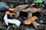 Tricholoma populinum Lange. Hongos de Granada