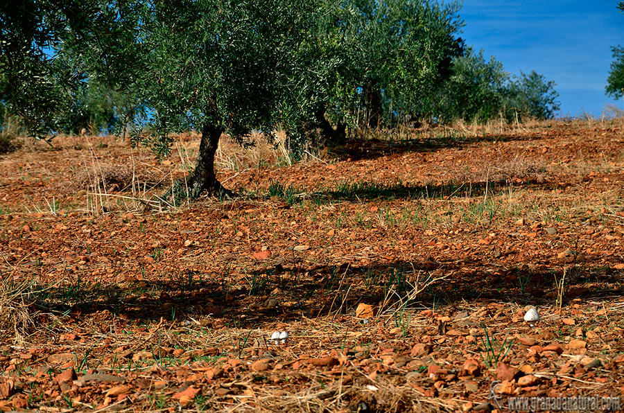Amanita vittadinii en su h�bitat. Hongos de Granada