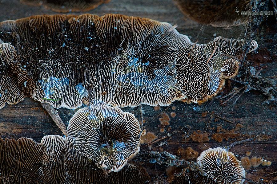 Gloeophyllum sepiariusm.Aphyllophorales de Granada.