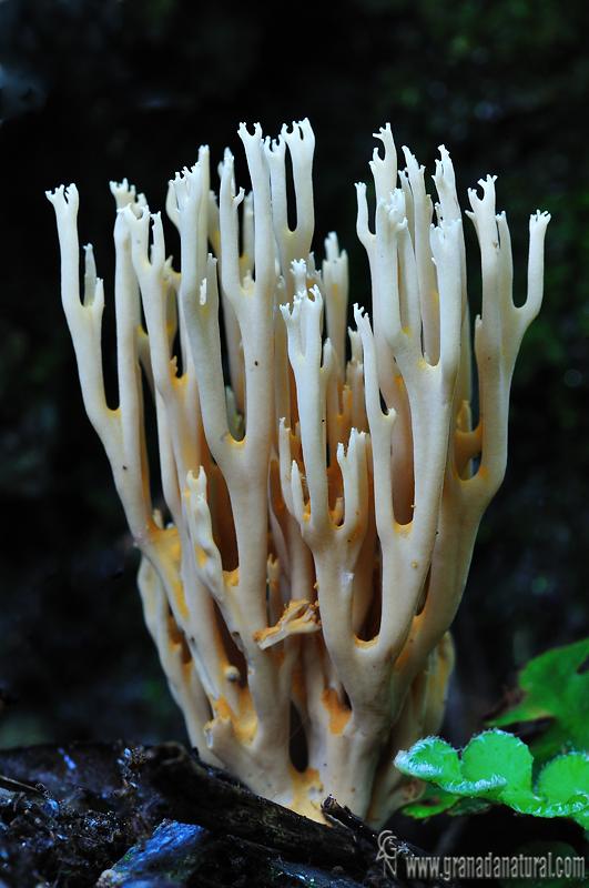 Artomyces pyxidatus. Hongos de Granada