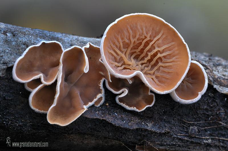 Schizophyllum amplum (L�v.) Nakasone,  (1996) -Hongos de Granada