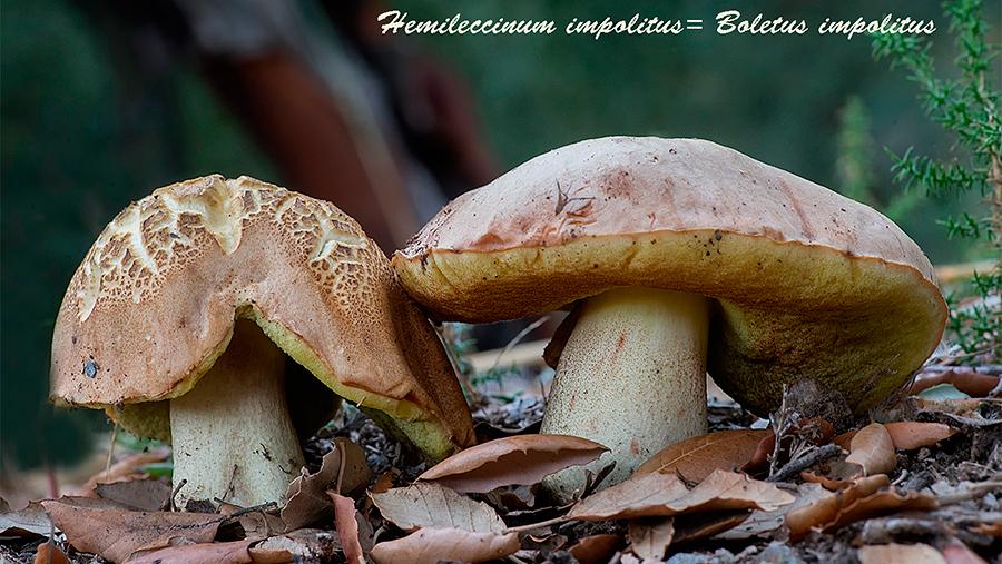 Boletus impolitus. Hongos de Granada