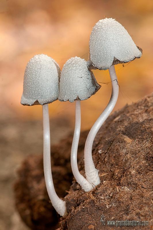 Coprinopsis nivea. Hongos de Granada.