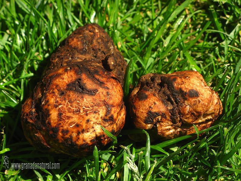 Terfezia claveyi. Hongos de Granada