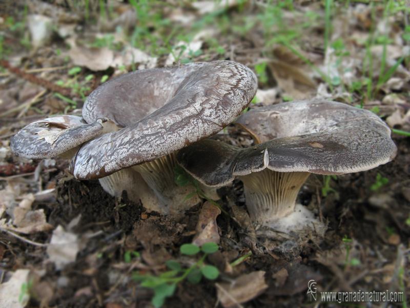 Hohenbuehelia geogenia. Setas de Granada