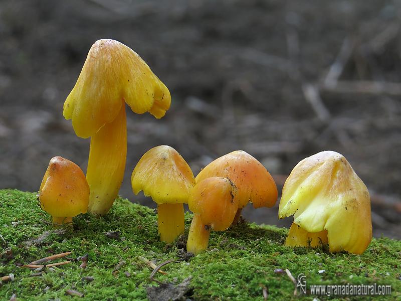 Hygrocybe acutoconica var. konradii.Hongos de Granada