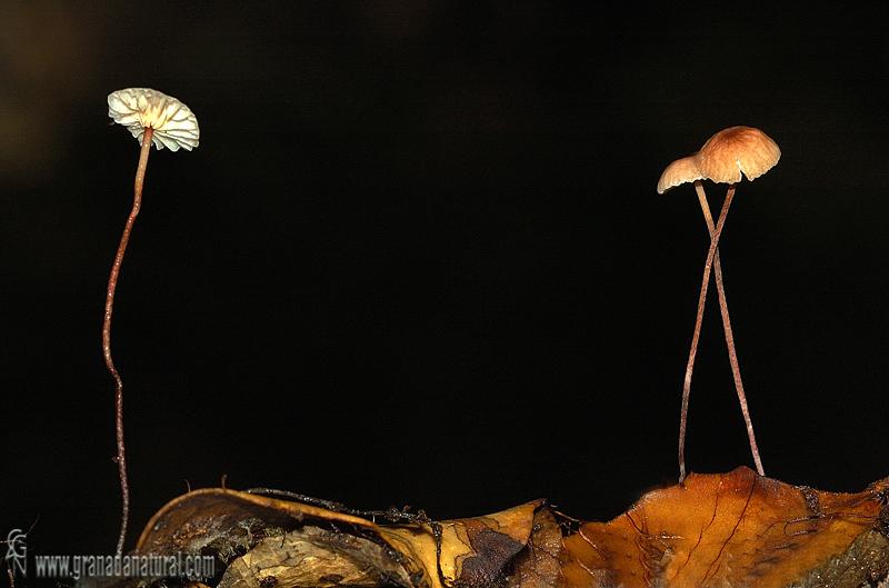 Marasmius quercophilus. Hongos de Granada.