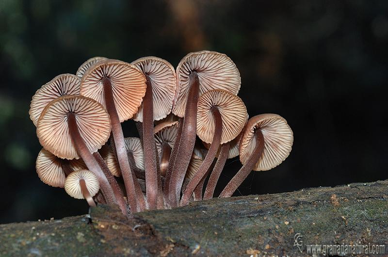 Mycena haematopus himenio