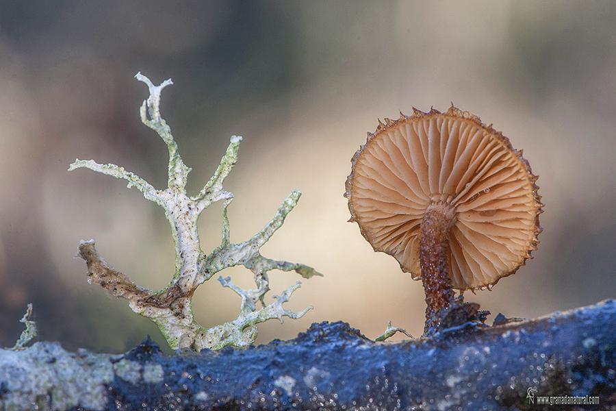 Phaeomarasmius erinaceus . Hongos de Granada
