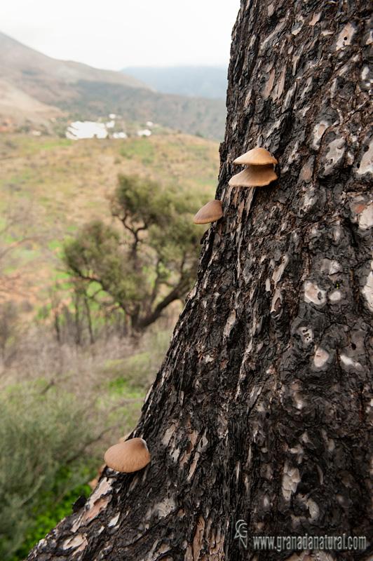 Pleurotus suberis sobre tronco de pino. Hongos de Granada