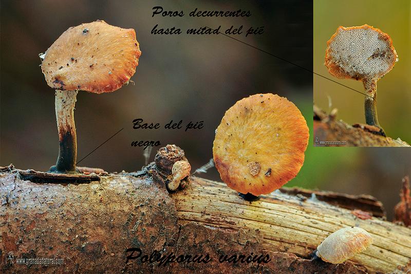 Polyporus varius. Hongos de Granada