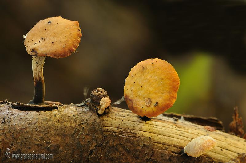 Polyporus varius ssp nummularius. Hongos de Granada