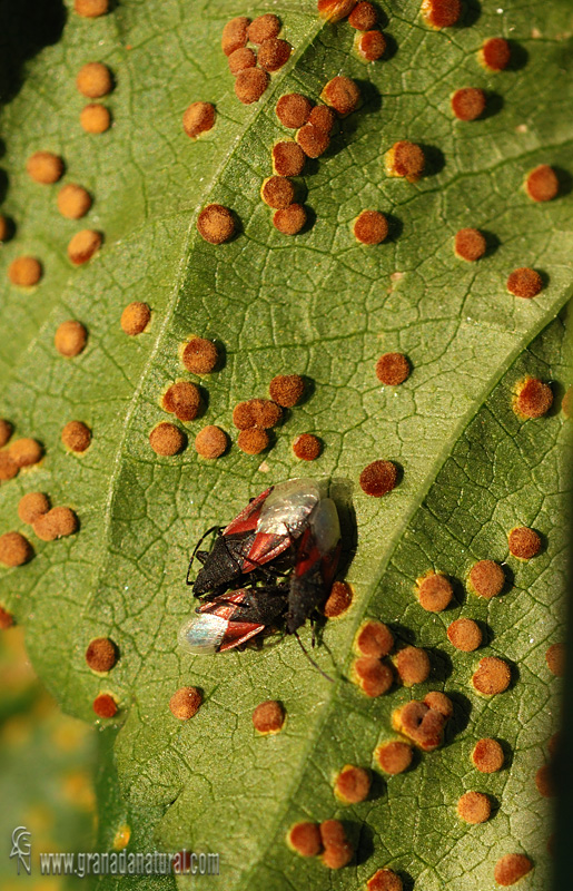Puccinia malvacearum. Hongos de Granada