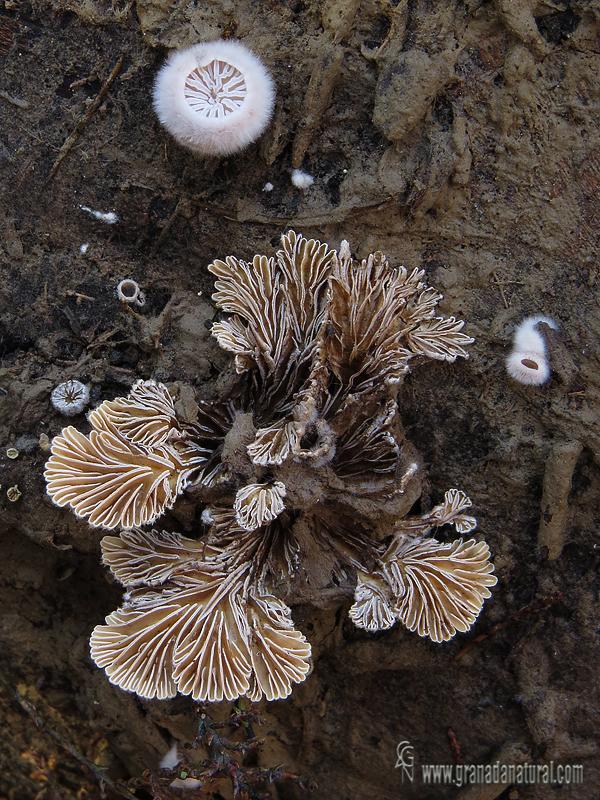 Schizpphyllum comune fase joven y adulta . Aphyllophorales de Granada