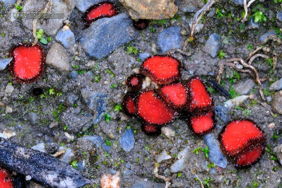 Scutellinia trechispora . Ascomycetes de Granada
