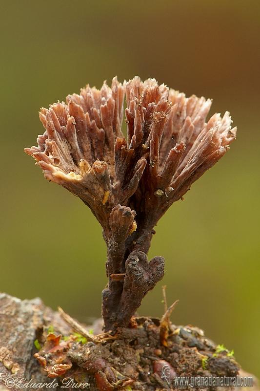 Thelephora palmata (Scop.) Fr. Hongos de Granada