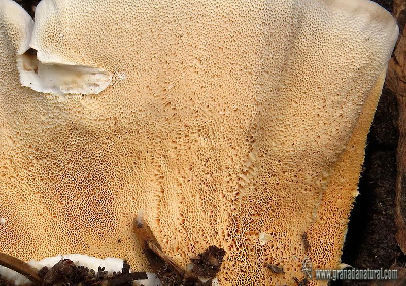 Trametes versicolor himenio poros. Aphyllophorales de Granada