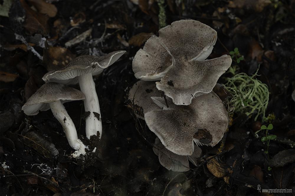 Tricholoma scalpturatum