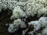 Ceryatomixa fruticulosa 2.Myxomycetes de Granada