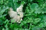 Mucílago crustacea Wigger. Myxomycetes de Granada