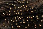 Physarum bruneolum. Myxomycetes de Granada