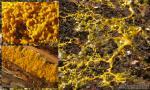 Physarum polycephalum fases. Myxomycetes de Granada