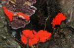 Trichia decipiens 1. Myxomycetes de Granada.