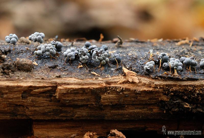 Badhamia utricularis . Myxomycetes de Granada