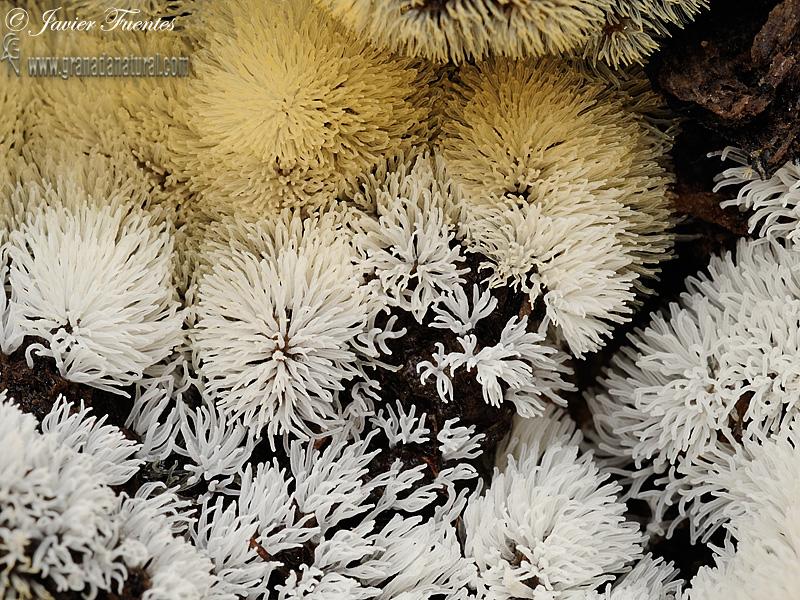 Ceratiomyxa fruticulosa  grupo ( Mül.) Macbr. Myxomycetes de Granada