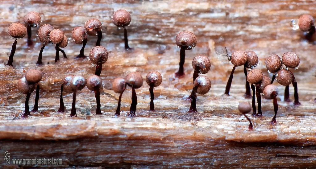 Cribaria cancellata . Myxomycetes de Granada