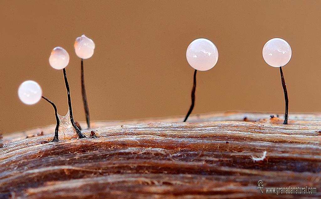 Comatricha nigra. Myxomycetes de Granada