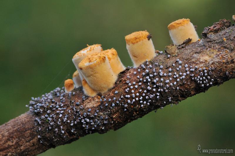 Physarum nutans 2. Myxomycetes de Granada