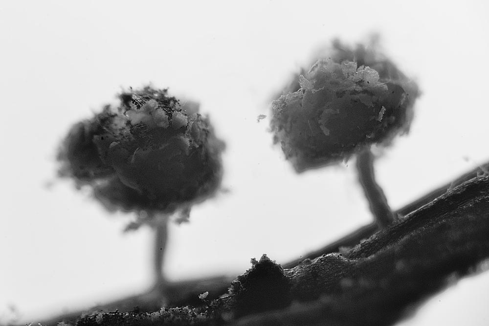 Didymium crustaceum  Fr.. Myxomycetes de Granada