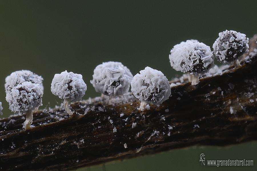 Didymium crustaceum. Myxomycetes de Granada
