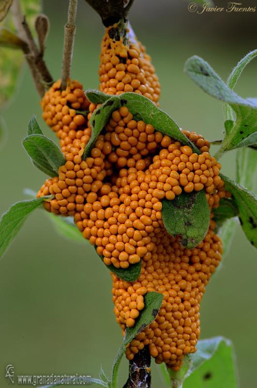 Leocarpus fragilis. Myxomycetes de Granada