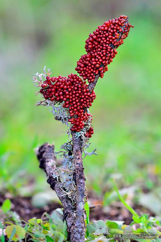 Leocarpus fragilis  shuetor. Myxomycetes de Granada