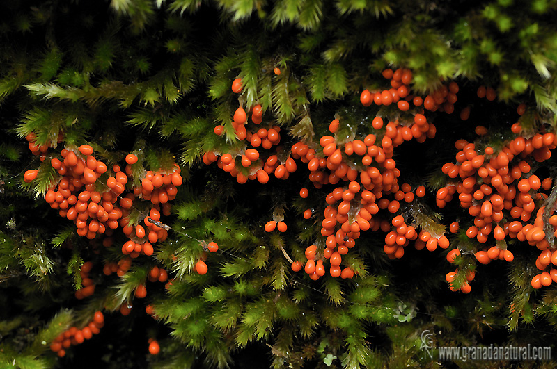 Leocarpus fragilis (Dicks.) Rostaf.. Myxomycetes de Granada