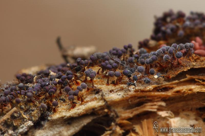 Physarum bethelii. Myxomycetes de Granada