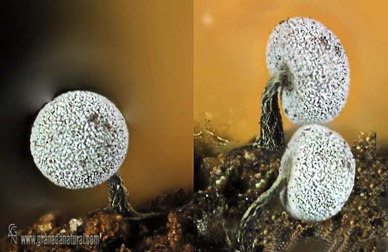 Physarum nutans detalle. Myxomycetes de Granada
