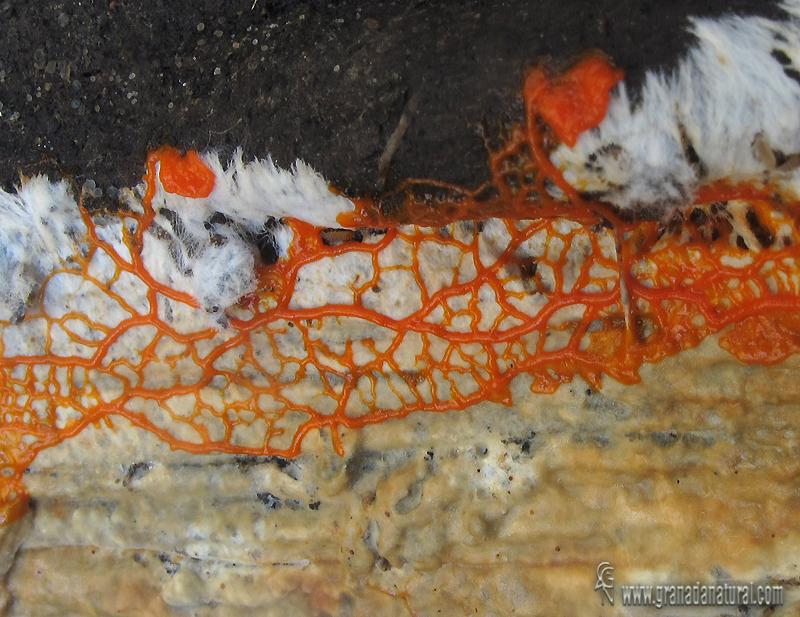 Plasmodio de Myxomycete. Myxomycetes de Granada