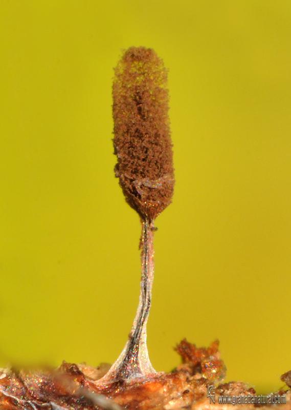 Stemonitopsis typhina. Myxomycetes de Granada