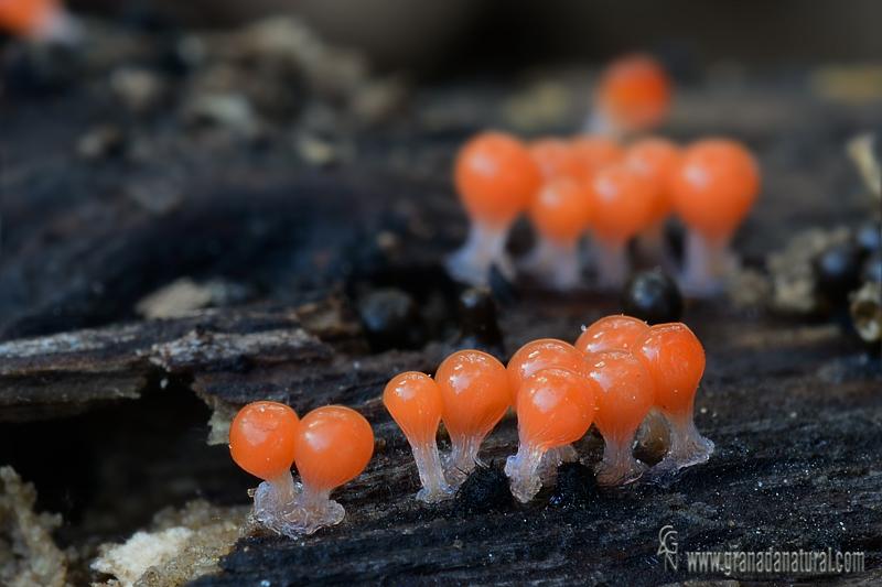 Trichia decipiens (Pers.) T. Macbr. Myxomycetes de Granada