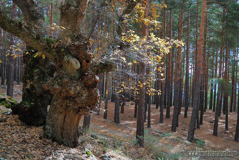 Pinus sylvestris ( bosque). Habitats de Granada