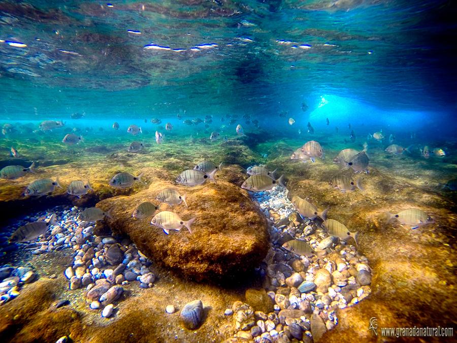 Sargos en el arrecife granadino. Paisajes de Granada